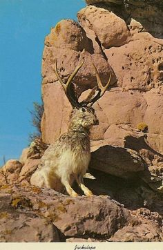 West Texas Jackalope..mostly found hopping around inside local gift shops...