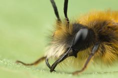 Tawny Mining Bee Male 2