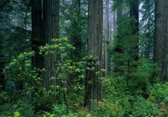 Picture/Photo: Rododendrons, redwoods, and fog, Del Norte Redwoods State Park. California National Parks, Us National Parks, Coyote Facts, Washington State University, Redwood Forest, Walking In The Rain, Heaven On Earth, Colorful Pictures, Northern California