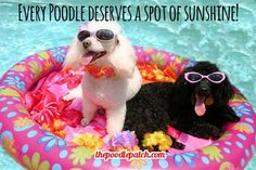 EVERY POODLE DESERVES A SPOT OF SUNSHINE!!!