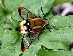 Hemaris is a Genus of Sphinx Moths, Clearwing Hummingbird Moth from North and South America Cool Insects, Flying Insects, Bugs And Insects, Beautiful Bugs, Beautiful Butterflies, Colorful Moths, Hummingbird Moth, Cool Bugs, Moth Caterpillar