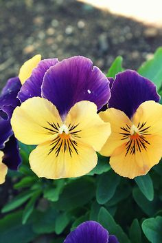 Orange and Violet Violas by Melissa Park