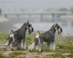 Beautiful Schnauzers