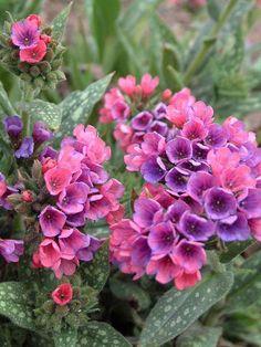Lungwort or Pulmonaria 'Raspberry splash' Hosta Gardens, Garden Shrubs, Shade Garden, Garden Plants, Garden Landscaping, Patio Gardens, Landscaping Ideas, Shade Tolerant Plants, Shade Perennials