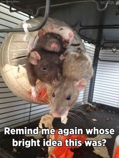 Haha silly ratties xD but so adorable!