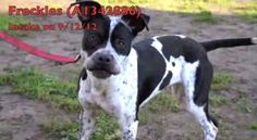 1/23/13 Death row dog, Freckles - Red alert, young dog at California animal control in grave danger
