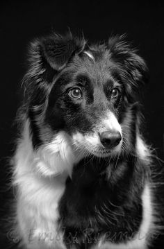 black and white border collie Perros Border Collie, Border Collie Puppies, Collie Dog, Animals Black And White, Black And White Dog, White Dogs, Best Friend Photography, Animal Photography, White Photography