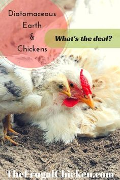 Ever since we started offering diatomaceous earth to our chickens, they've been so much healthier. Here's what it is and how to use it in the coop!::