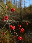 Winterberry/Michigan Holly?