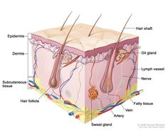Skin Structure And Function: Definition, Diagrams Epidermis, Dermis Layers: Skin Diseases And Disorders Skin Anatomy, Facial Anatomy, Anatomy Organs, Human Anatomy, Blood Vessels, Lymph Massage, Subcutaneous Tissue, Bone Cancer, Human Body