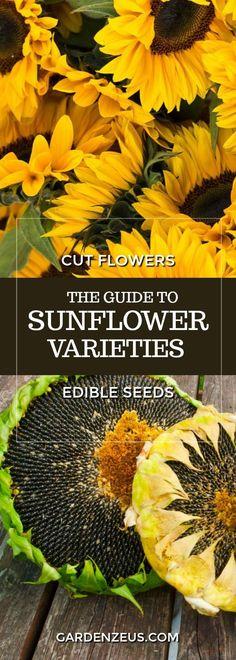 The Guide to Sunflower Varieties #sunflower #sunflowerseeds #cutflowers #springplanting #gardening