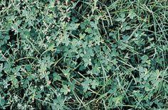 Black Medic Weeds In Lawn, Medical, Herbs, Plants, Black, Black People, Herb, Plant, Medicine