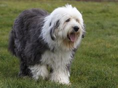 Bobtail aka Old English Sheepdog