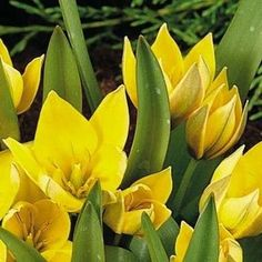 With their dainty proportions and showy blooms, botanical tulips are sure to bring surprising beauty and interest to your spring garden. Types Of Tulips, Spring Garden, Yellow Flowers, Bloom, Plants, Gardening, Beautiful, Lawn And Garden, Plant
