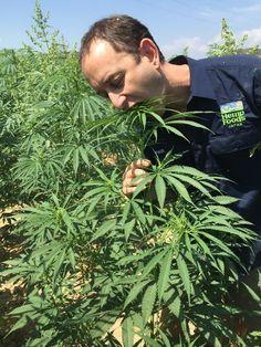 Cannabis Plant, Hemp, Planting Flowers, Plants, Flora, Plant, Planting