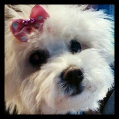 Awe looks just like my lil baby girl pup Briley Faith Animals And Pets, Cute Animals, All Breeds Of Dogs, Malteser, Maltipoo, Cute Dogs And Puppies, Lil Baby, Puppys, My Animal