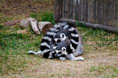 A Circle of Lemur Love by Kefoster, via Flickr Lemur, Just For Fun, Organize, Lemurs, Slow Loris