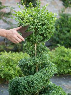 Creating a Boxwood Topiary - on HGTV