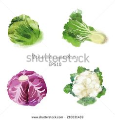 Watercolor vector vegetables set with cabbage, red cabbage, cauliflower and lettuce - stock vector