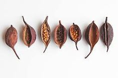 bottle-tree-seed-pods, by Mary Jo Hoffman Organic Form, Organic Shapes, Botanical Art, Botanical Illustration, Planting Seeds, Planting Flowers, Tree Seeds, Seed Pods, Natural Forms
