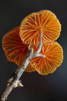 Fungi - Mycena - steveaxford