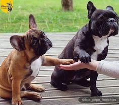 French Bulldogs