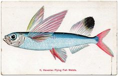 Hawaiian Flying Fish card ~1910 A pretty colorful illustration.