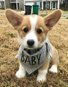 """Discover additional details on """"corgis puppies:. Browse through our web site. Cute Corgi Puppy, Corgi Dog, Pet Dogs, Dog Cat, Cute Funny Animals, Cute Baby Animals, Animals And Pets, Kittens And Puppies, Cute Dogs And Puppies"""
