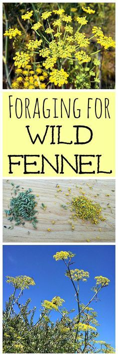 Wild fennel is an easy to forage edible and medicinal plant!