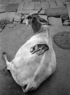Pentti Sammallahti : Varanasi India, 1999 by Pentti Sammallahti Bless that little dog's heart.and what a patient cow! Varanasi, Animals And Pets, Funny Animals, Cute Animals, Beautiful Creatures, Animals Beautiful, Sleeping Puppies, Tier Fotos, Mundo Animal