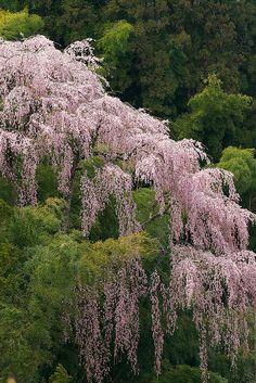 福聚寺の桜: cherry blossom, Fukujyu temple