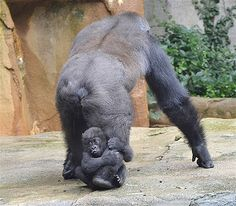 5 months old western lowland gorilla Gladys gets a ride around the yard with her surrogate mother.