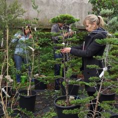 First Japanese pruning course in English Japanese Plants, Japanese Tree, Japanese Garden Design, Topiary Garden, Topiary Trees, Bonsai Garden, Topiaries, Dry Garden, Garden Yard Ideas