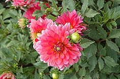 Click to view full-size photo of Karma Fuchsiana Dahlia (Dahlia 'Karma Fuchsiana') at Stauffers Of Kissel Hill