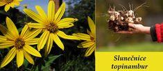 slunecnice topinambur ucinky na zdravi co leci pouziti uzivani vyuziti 0 Korn, Plants, Plant, Planets