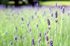 What are the health benefits of lavender? - Medical News Today