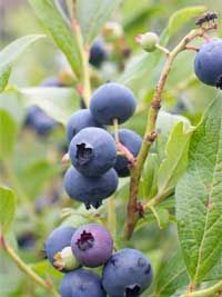 Blueberries (Vaccinium corybosum) varieties: Blueray, Duke, Chandler, Toro, Elizabeth. Jersey, Bluecrop
