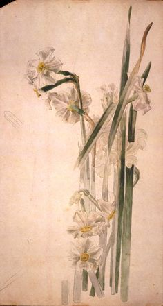 Beatrix Potter (1866-1943), Study of narcissus flowers