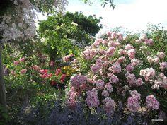 Le Jardin de Morailles et sa collection de roses anciennes, � visiter � Pithiviers le Vieil dans le Loiret...France