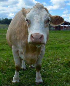 Moooo Woodstock Farm Animal Sanctuary *look at that face!*