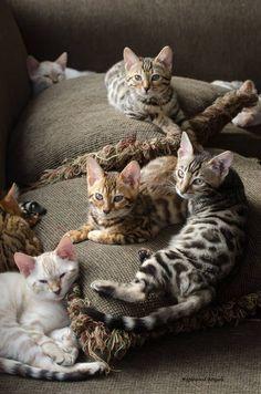 Spots ... everywhere! Bengal kitties