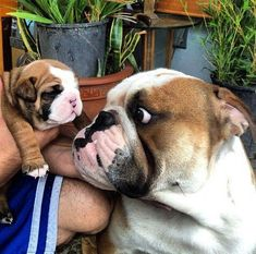 Click the following link - http://www.mobilehomemaintenanceparts.com/dogcaresupplies.php- to learn about the supplies needed to take care of a pet bulldog.