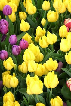 yellow and purple tulips by _poseidon_, via Flickr