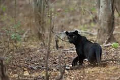 Black Panther | Mudumalai Tiger Reserve | by Phillip Ross