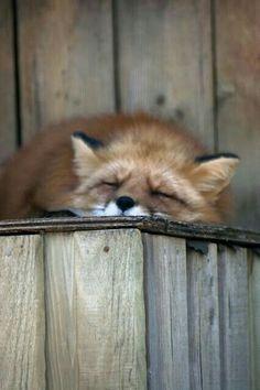 Red fox sleeping