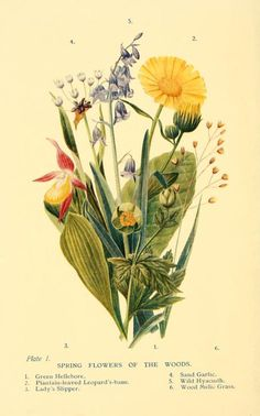 Spring Flowers of the Woods. Frontispiece from 'Flowers of the Woods.' by W. S. Furneaux.  (Green Hellebore, Plantain-leaved Leopard's-bane, Lady's Slipper, Sand Garlic, Wild Hyacinth and Wood Melic Grass).  Published 1909 by Longmans, Green, and Co archive.org
