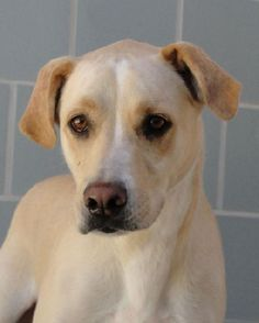 Jarod - Black Mouth Cur mix - 4 yrs old - Animal Defense League of Texas - San Antonio, TX. - http://adltexas.org/pets/jarod/ - https://www.facebook.com/adltexas - http://www.adoptapet.com/pet/9799927-san-antonio-texas-black-mouth-cur-mix - https://www.petfinder.com/petdetail/27682643/