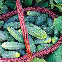 Cucumber, Bushy OG