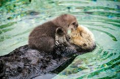 Cute sea otters – WTF fun facts - New Sites Cute Funny Animals, Cute Baby Animals, Otters Funny, Otters Cute, Wild Animals, Funny Weird Facts, Fun Funny, Fun Facts About Animals, Random Animal Facts