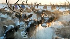 World's largest reindeer herd plummets due to climate change and human activity - BBC News